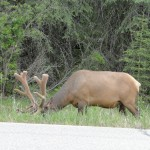 Elk on side of road, British Columbia