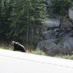 Black bear, British Columbia