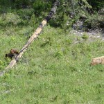 Baby grizzlies, British Columbia