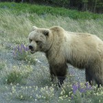 Grizzly on the Alaska Highway