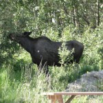 Moose in campground