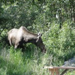 Moose, Delta Junction