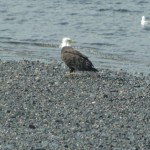 Eagle on Homer Spit