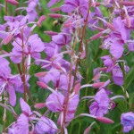 Beautiful fireweed
